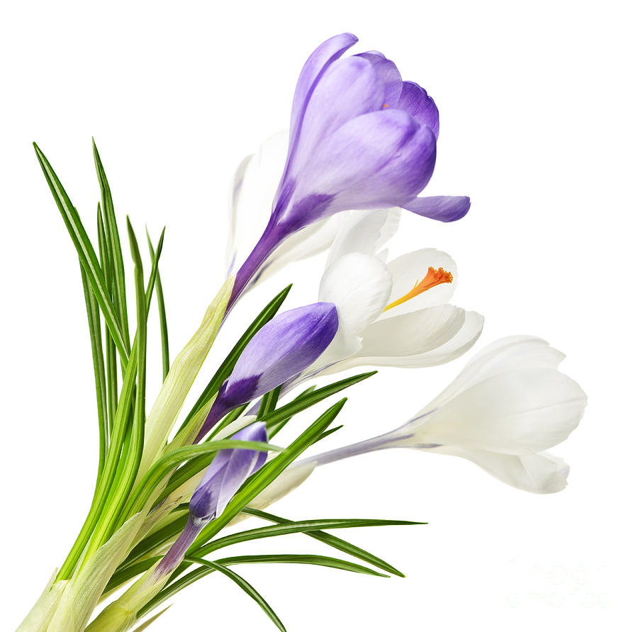 Spring Crocus Flowers Photograph  - Spring Crocus Flowers Fine Art Print