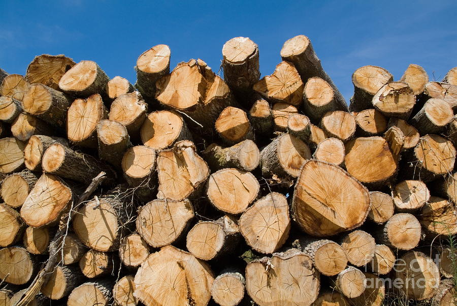 Stack Of Wooden Logs In The Landes Forest Photograph  - Stack Of Wooden Logs In The Landes Forest Fine Art Print