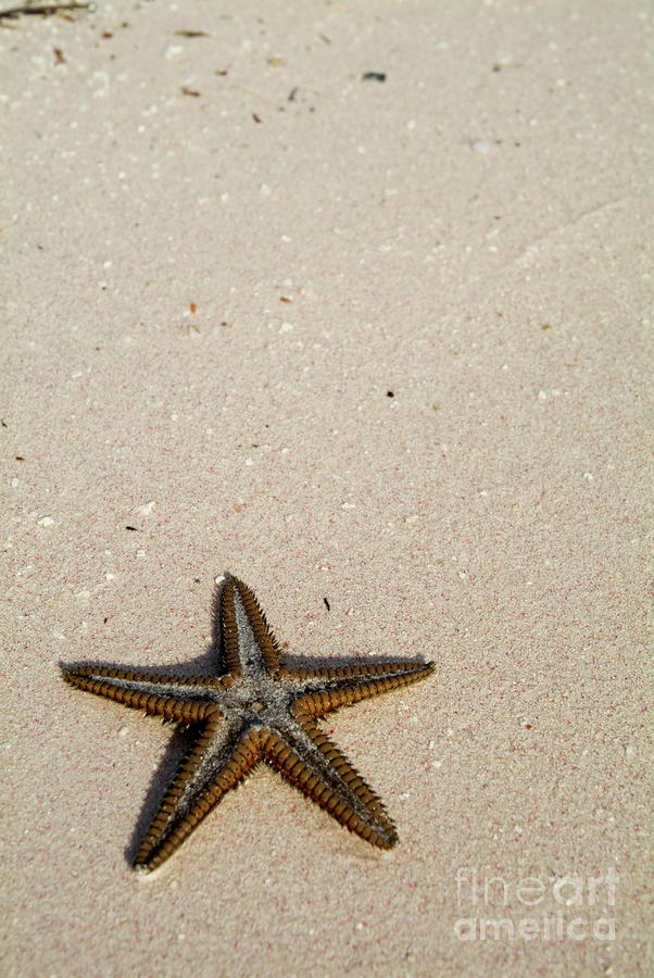 Starfish Partially Buried In White Sand Photograph  - Starfish Partially Buried In White Sand Fine Art Print