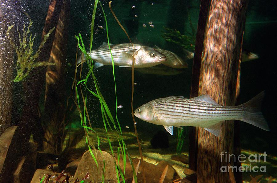Striped Bass In Aquarium Tank On Cape Cod Photograph