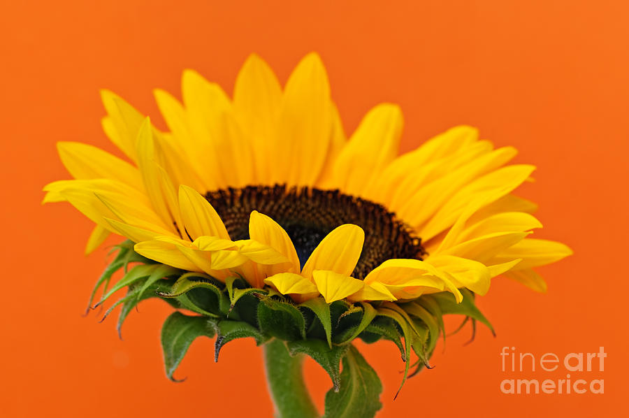 Sunflower Closeup Photograph  - Sunflower Closeup Fine Art Print