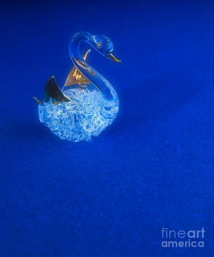 Swan Photograph