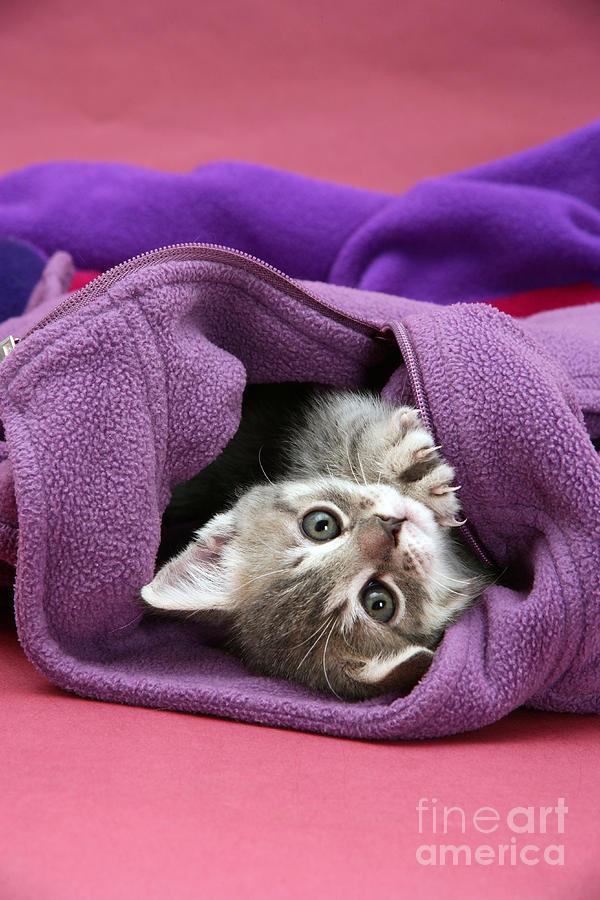 Tabby Kitten Photograph