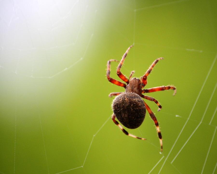 Anne spider
