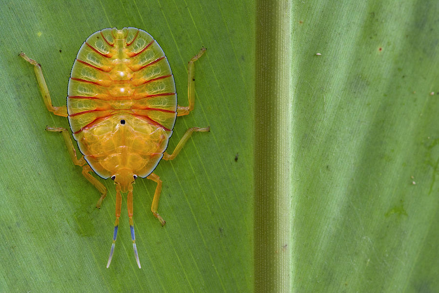 Tessaratomid Nymph Papua New Guinea Photograph