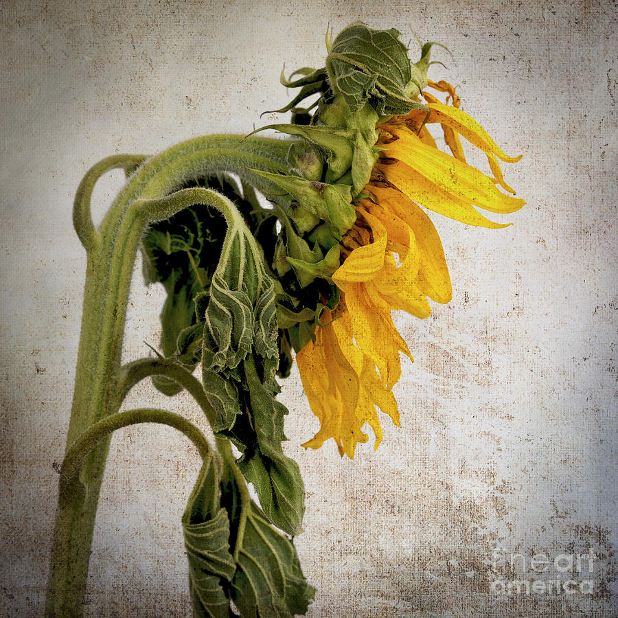 Textured Sunflower Photograph  - Textured Sunflower Fine Art Print