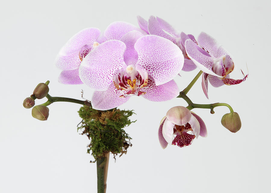 The Branch Of A Flowering Orchid Photograph  - The Branch Of A Flowering Orchid Fine Art Print