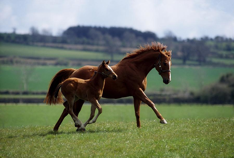 Thoroughbred Mare Amp Foal Ireland Photograph By The Irish