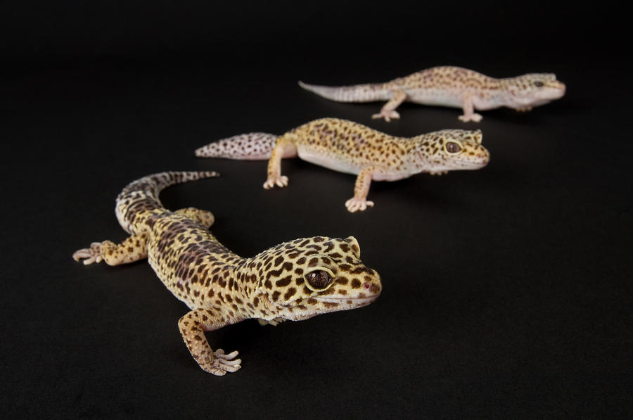 Three Female Leopard Geckos Eublepharis Photograph