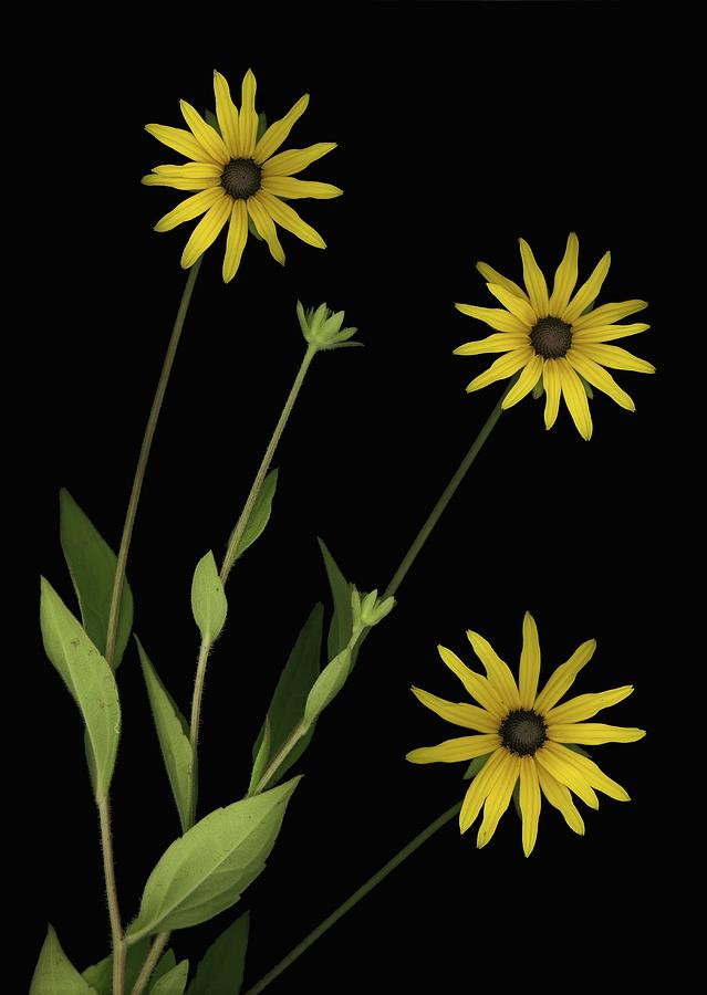Three Yellow Flowers Photograph