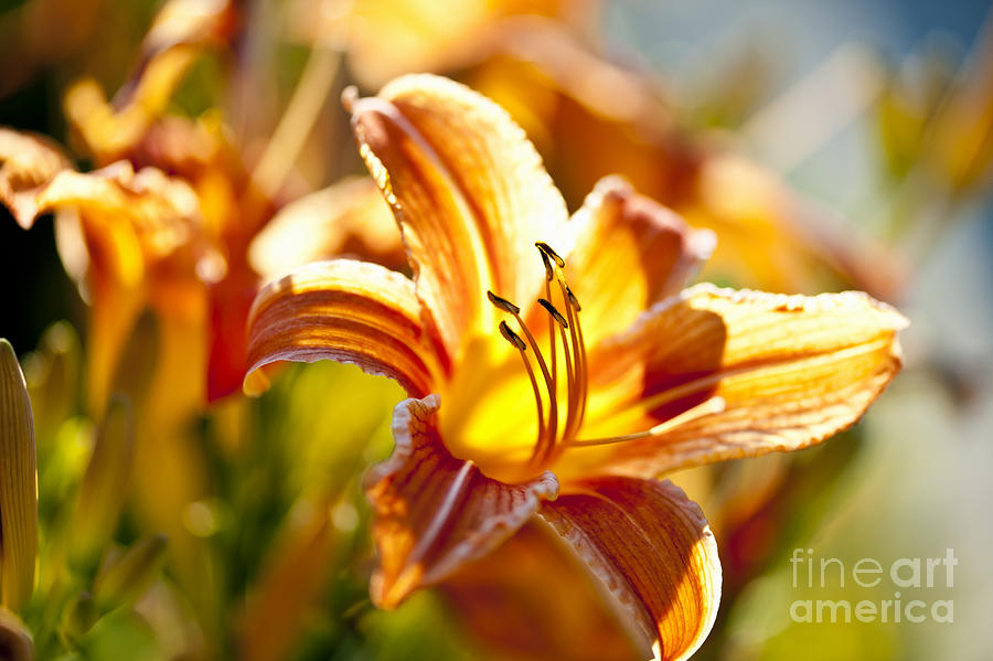 Tiger Lily Flower Photograph  - Tiger Lily Flower Fine Art Print