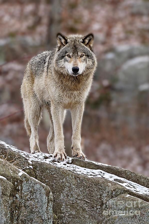 Timber Wolf On Rocks Photograph