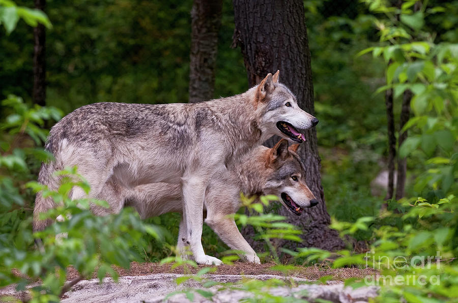 Michael Cummings Photograph - Timber Wolves by Michael Cummings