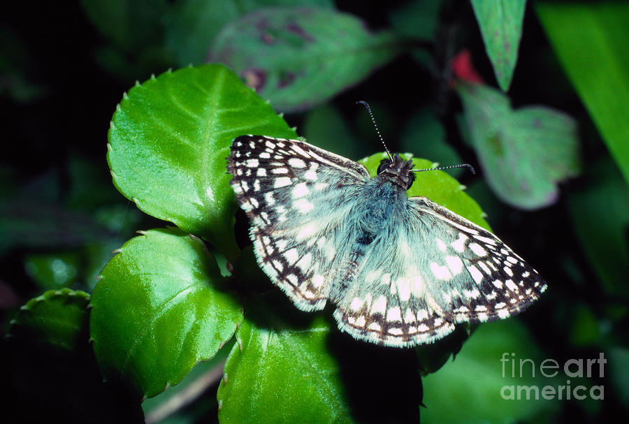 Tropical Checkered Skipper Photograph  - Tropical Checkered Skipper Fine Art Print