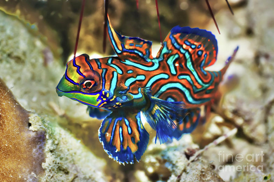 Tropical Fish Mandarinfish Photograph