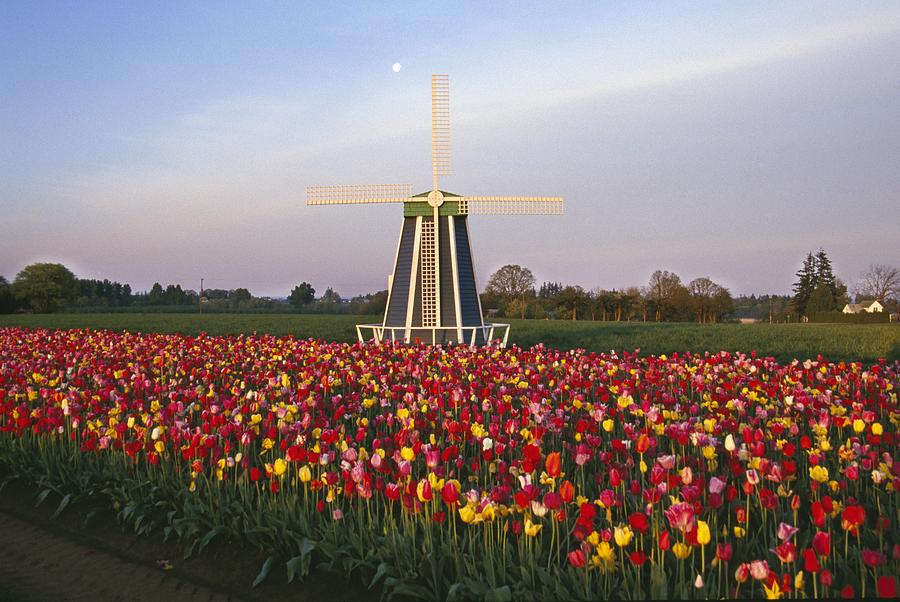 Field Photograph - Tulip Field And Windmill by Natural Selection Craig Tuttle