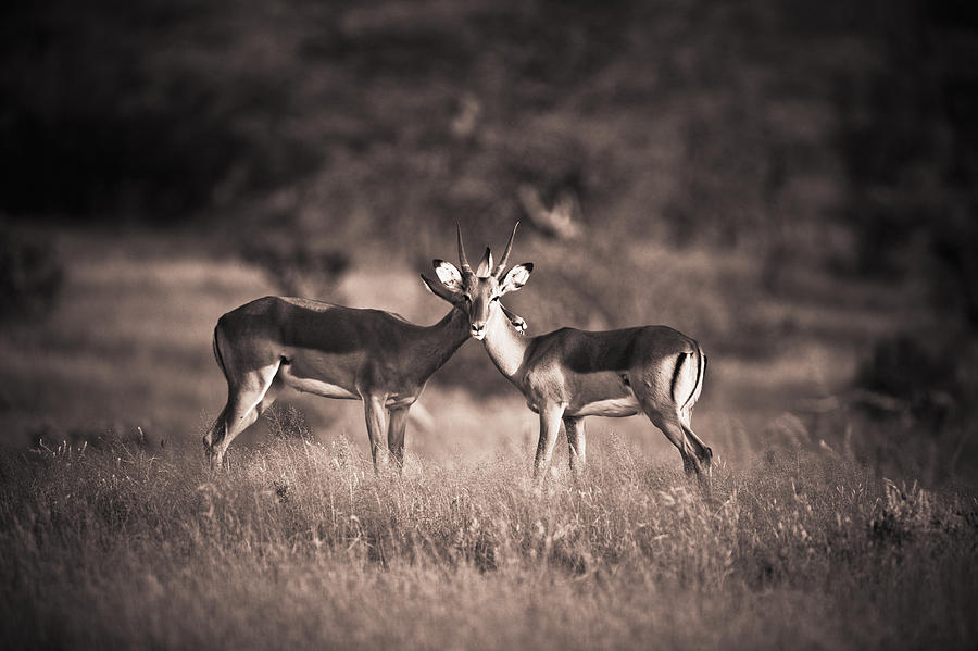 Two Antelopes In A Field Samburu Kenya Photograph