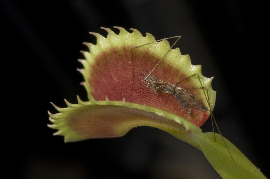 Atlanta Photograph - Venus Flytraps As They Consume Insects by Joel Sartore