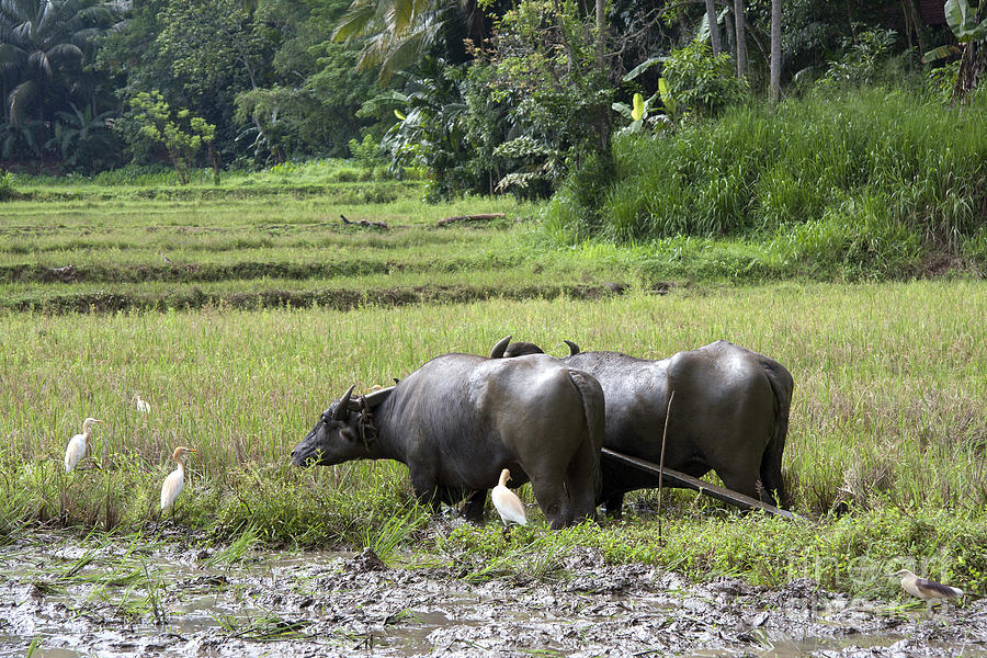 Water Buffalo Photograph