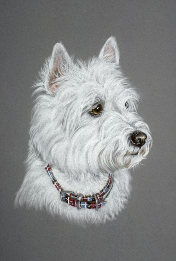 West Highland White Terrier  Pastel  - West Highland White Terrier  Fine Art Print
