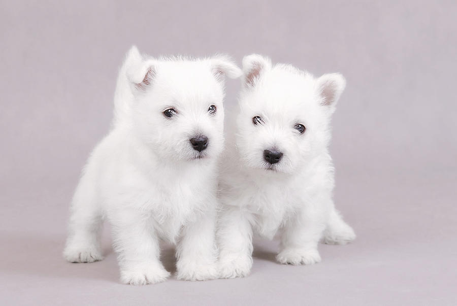 West Highland White Terrier Puppies Photograph