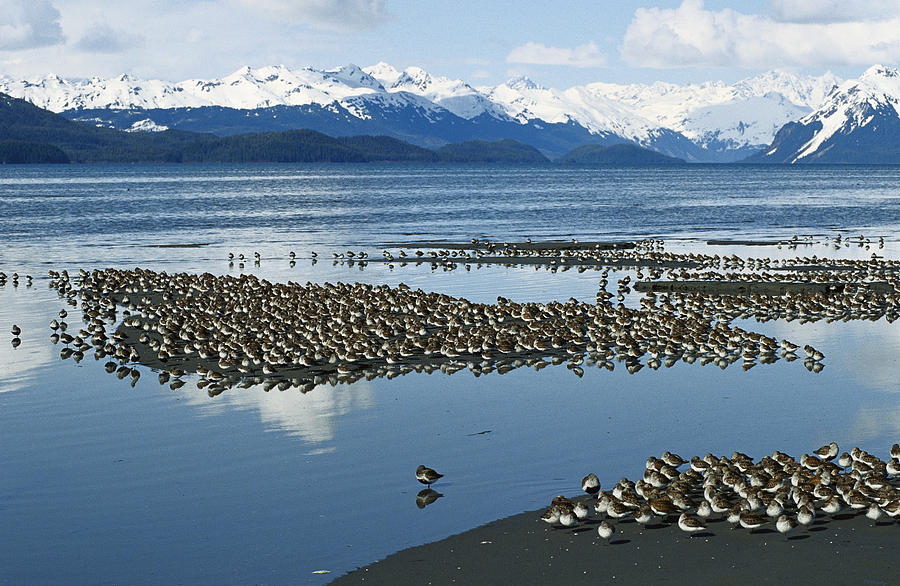 Mp Photograph - Western Sandpiper Calidris Mauri Flock by Michael Quinton