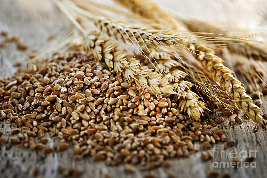 Wheat Ears And Grain Photograph  - Wheat Ears And Grain Fine Art Print