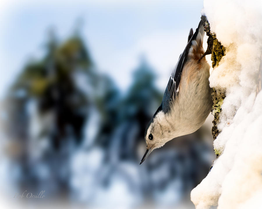 White Breasted Nuthatch In The Snow Photograph  - White Breasted Nuthatch In The Snow Fine Art Print