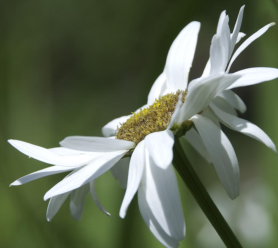 White Daisy Photograph