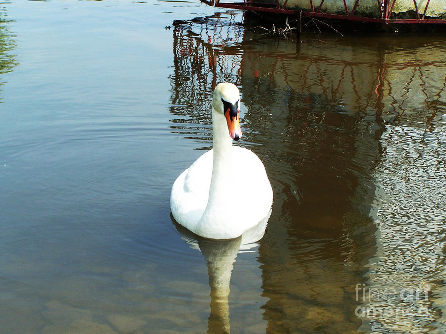 White North American Mute Swan Photograph