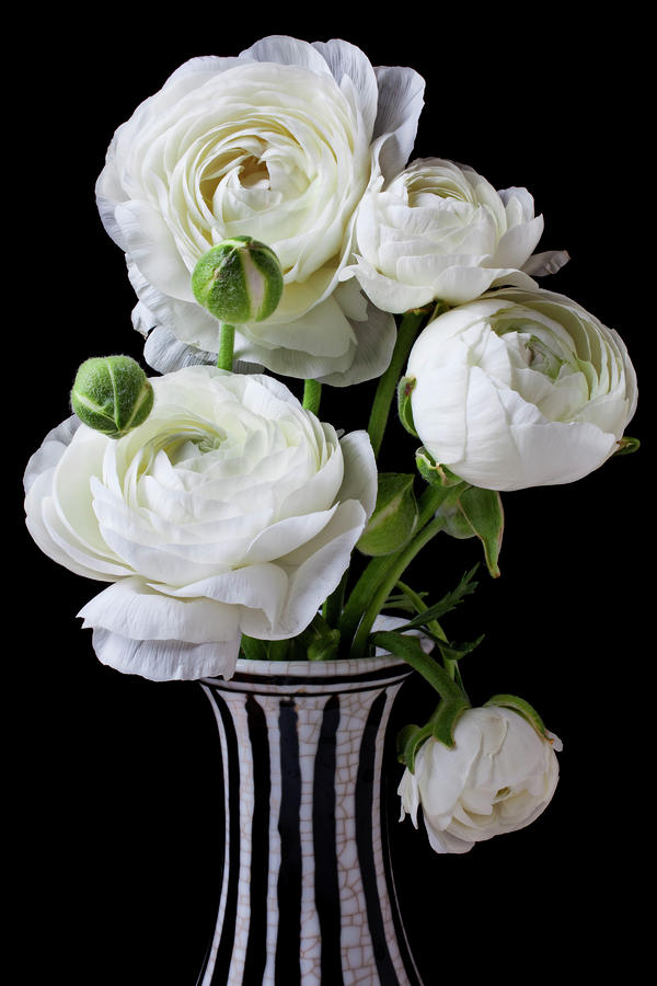 White Ranunculus In Black And White Vase Photograph  - White Ranunculus In Black And White Vase Fine Art Print