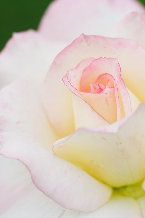 White Rose With Pink Edge Photograph  - White Rose With Pink Edge Fine Art Print