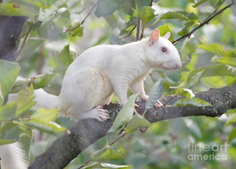 White Squirrel Photograph