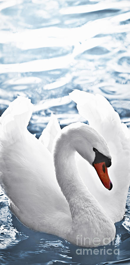 White Swan On Water Photograph