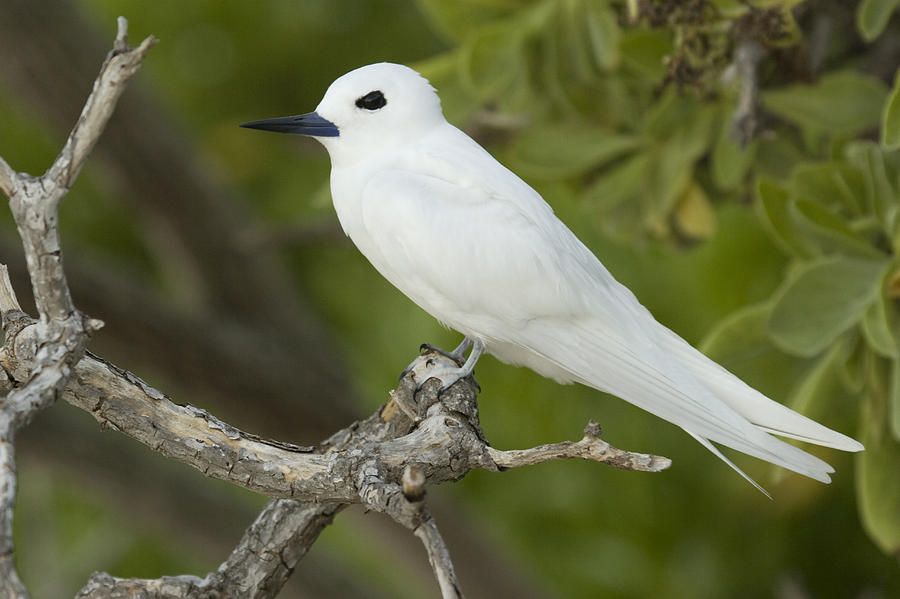 White Tern  Midway Atoll Hawaiian Photograph
