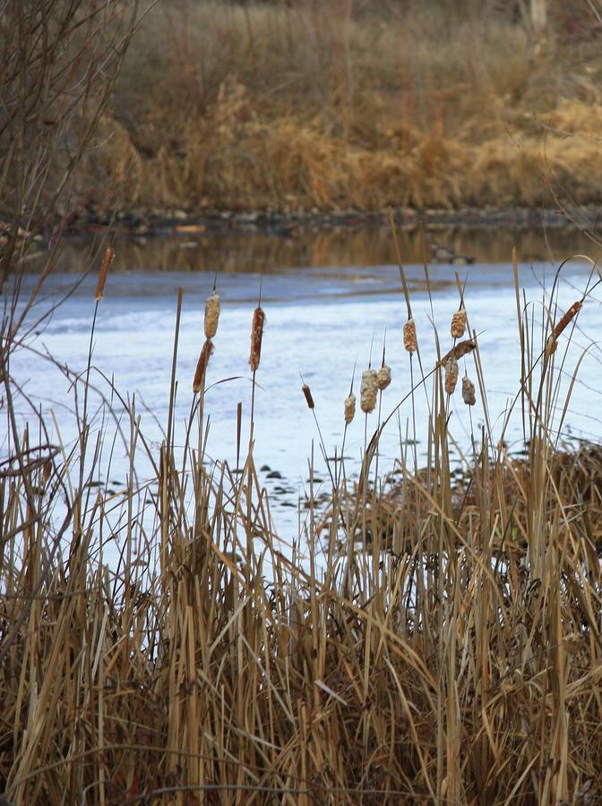 Winter Cattails Photograph