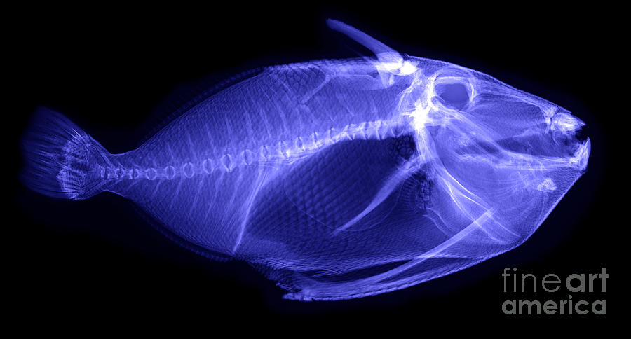 X-ray Of A Clown Triggerfish Photograph
