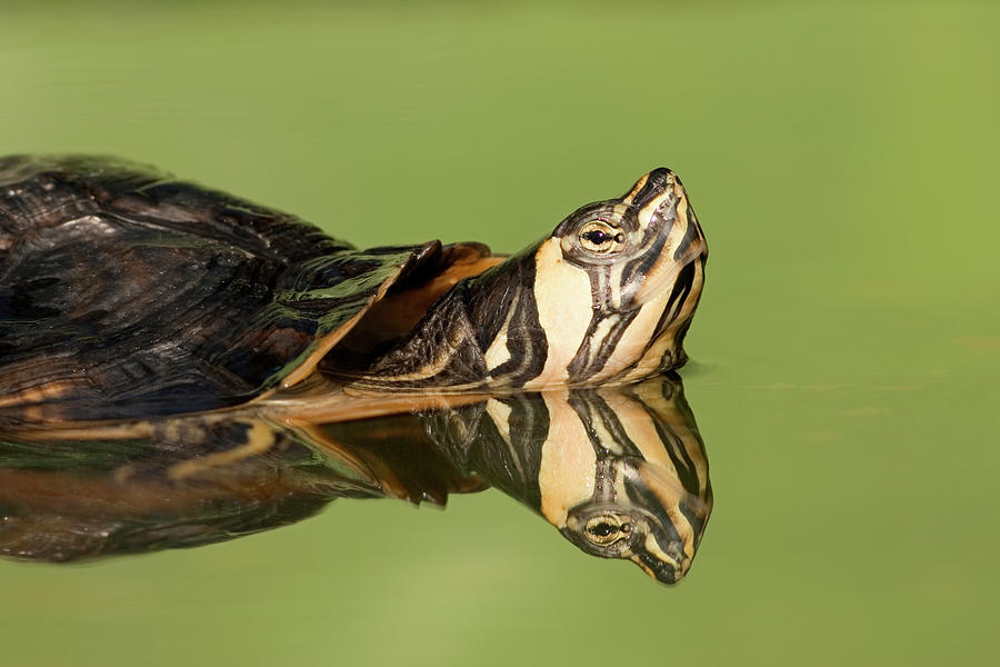 Yellow-bellied Slider Trachemys Scripta Photograph