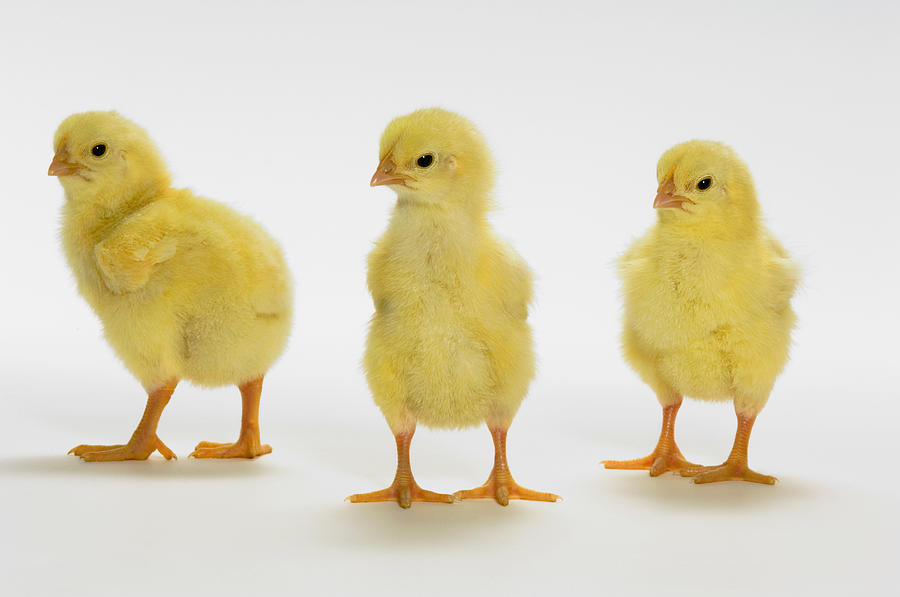Yellow Chicks. Baby Chickens Photograph by Thomas Kitchin ...