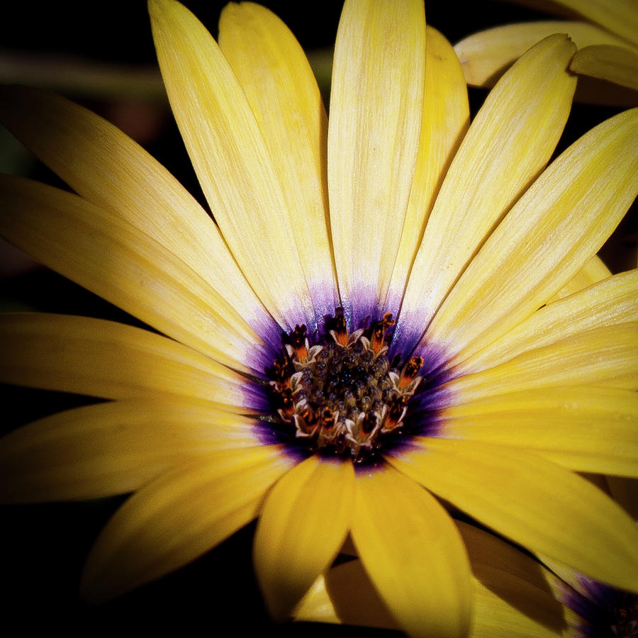 Yellow Daisy Photograph