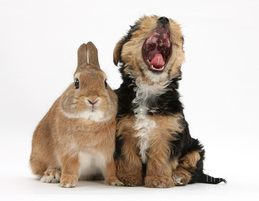 Yorkshire Terrier Pup With Rabbit Photograph
