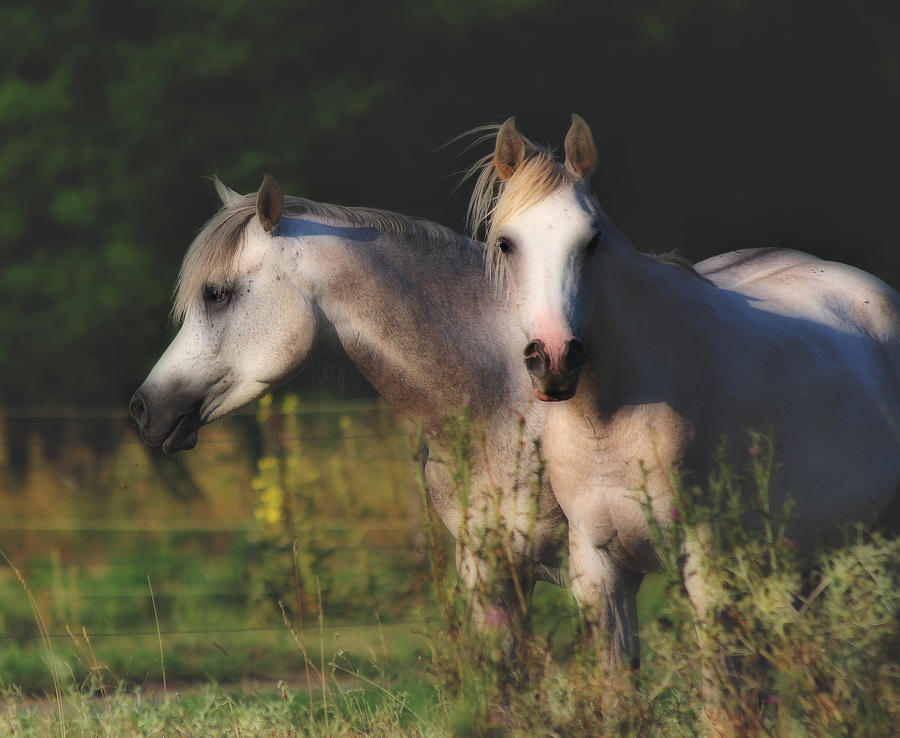 Young Arabian Stallions Photograph