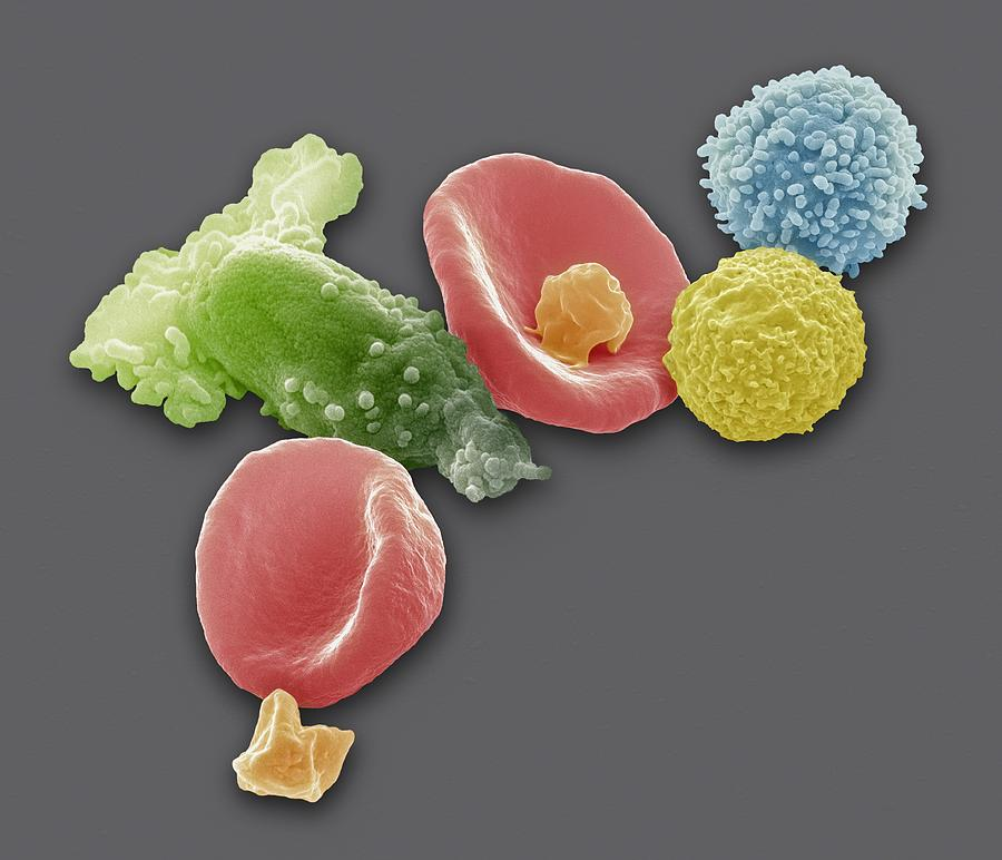 Blood Cells, Sem Photograph