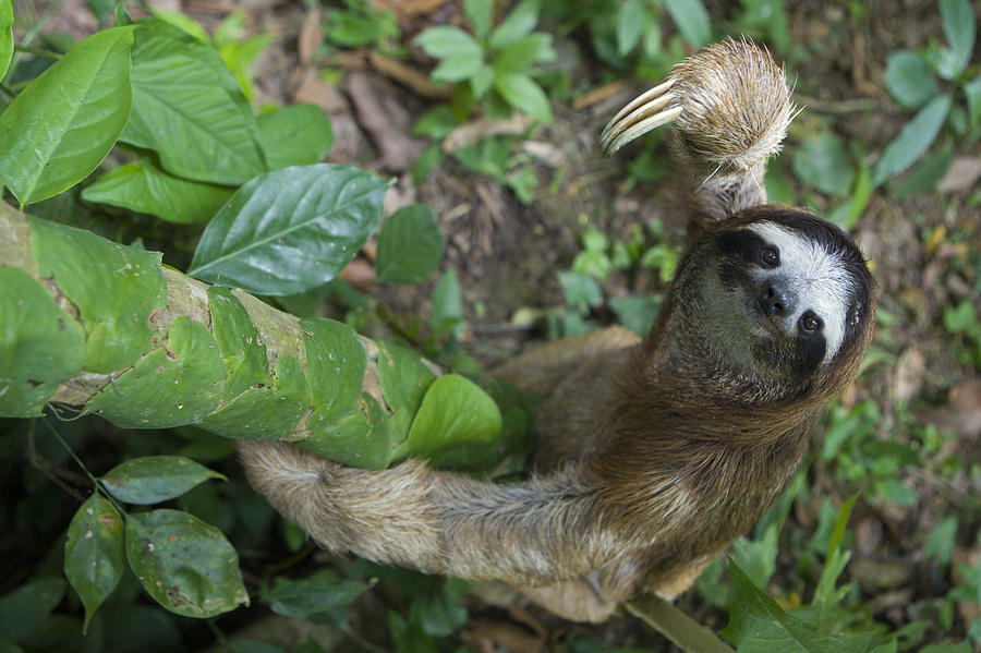 Brown-throated Three-toed Sloth Photograph