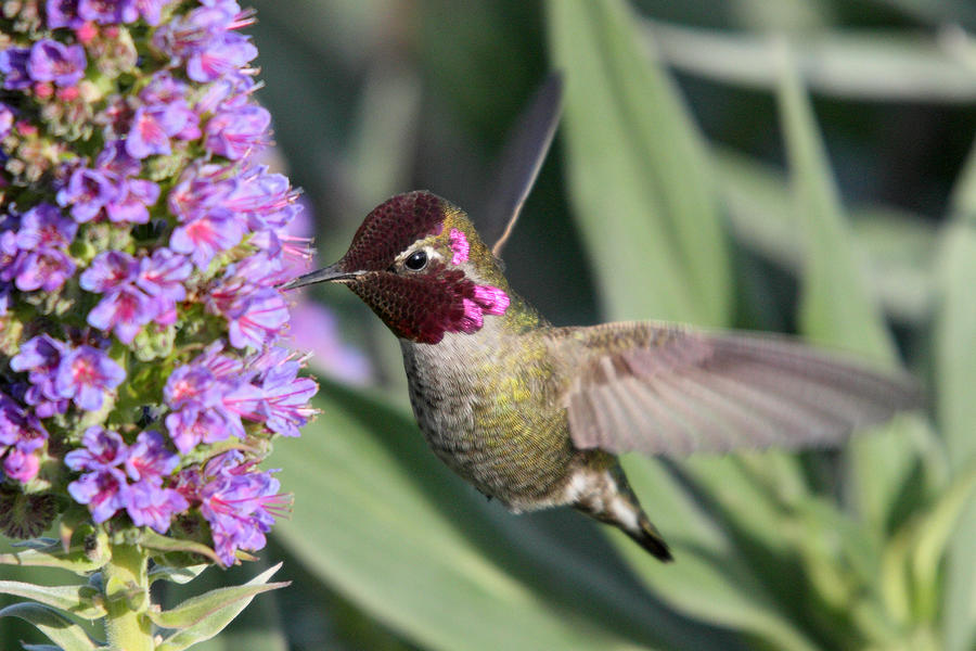Hummingbird In Flight Photograph  - Hummingbird In Flight Fine Art Print