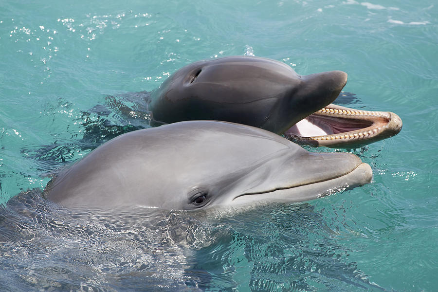 Adult Photograph - Atlantic Bottlenose Dolphins by Dave Fleetham