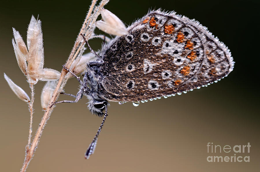 Brown Argus Photograph  - Brown Argus Fine Art Print