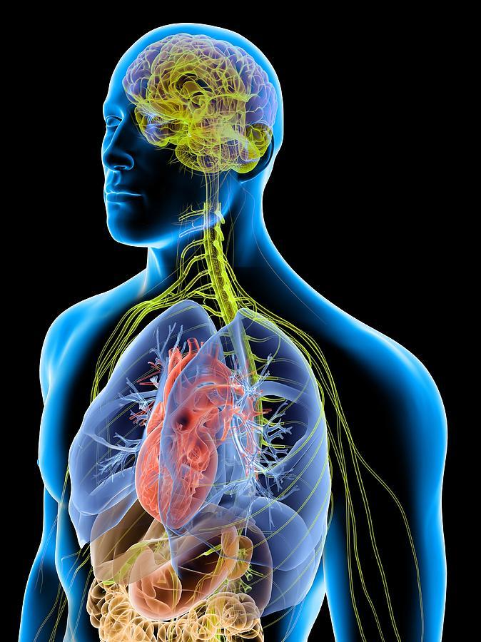 Human Male Anatomy, Artwork Photograph