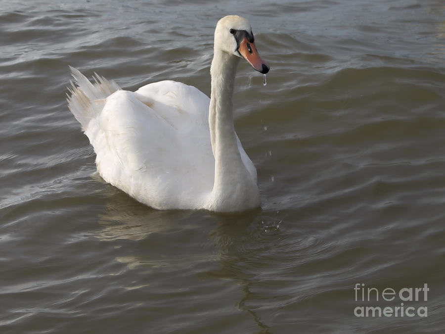 Nature Photograph - Swan by Odon Czintos