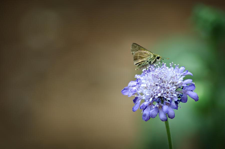 1205-8785 Skipper On A Butterfly Blue Pincushion Flower Photograph